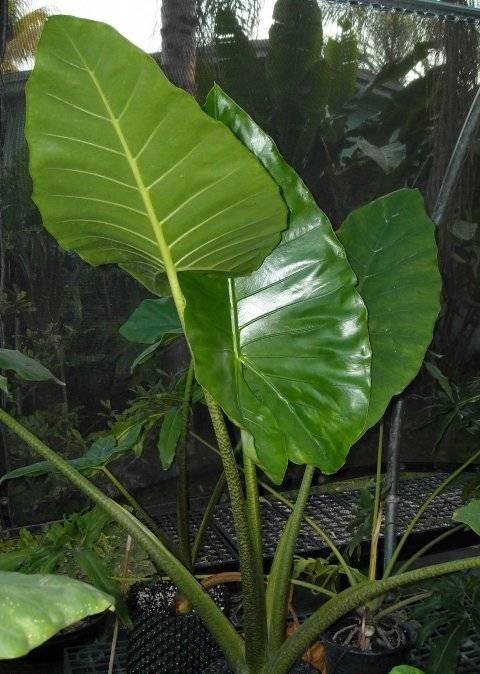 Алоказия крупнокорневая: уход в домашних условиях, фото растения и его лечебные свойства