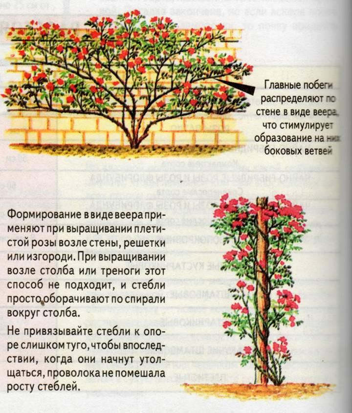 Посадка пионовидной кустовой спрей-розы мисти баблс: как ухаживать за цветком