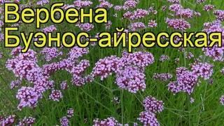 Вербена гибридная: выращивание, размножение