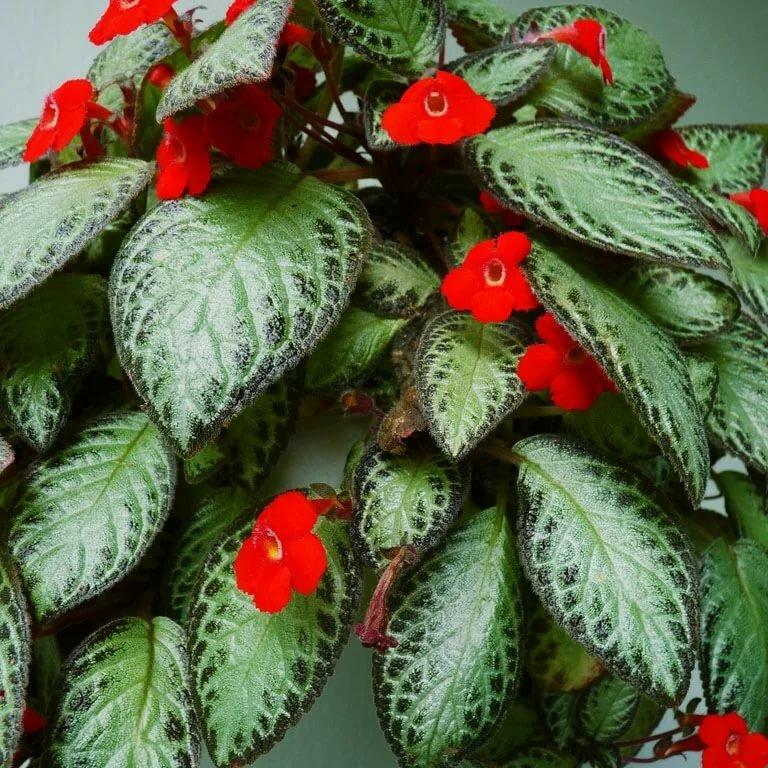 Удивительно красивый цветок — эписция. уход и разведение
