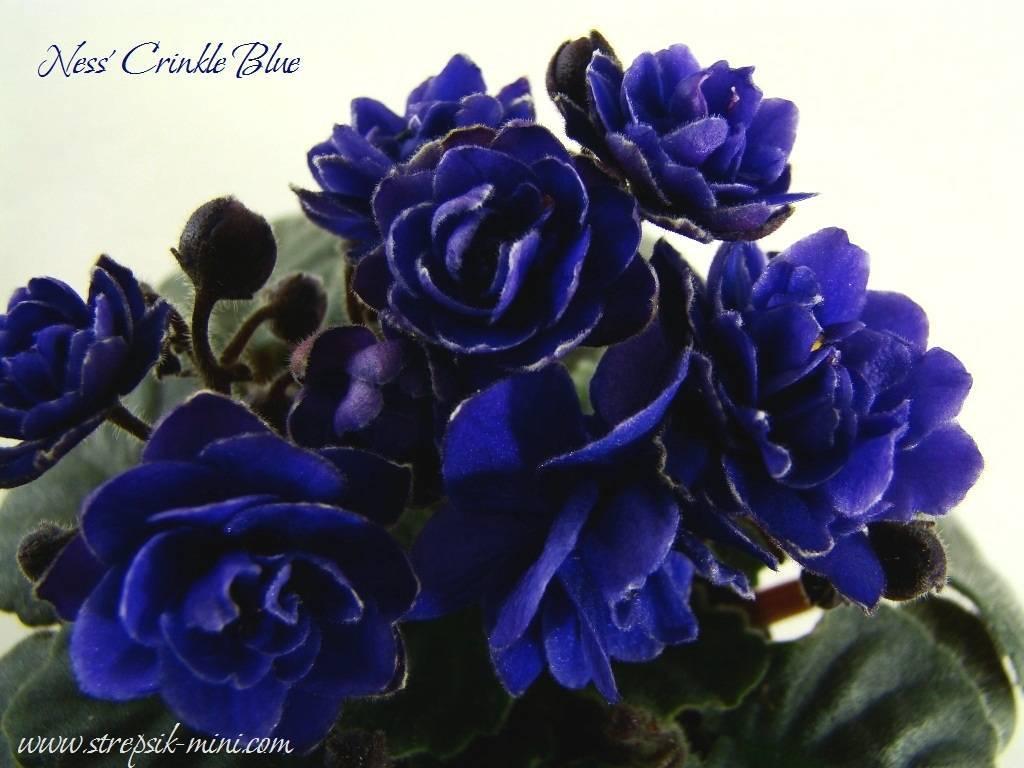 Всё о фиалках трехцветных: описание лечебных свойств цветков и травы