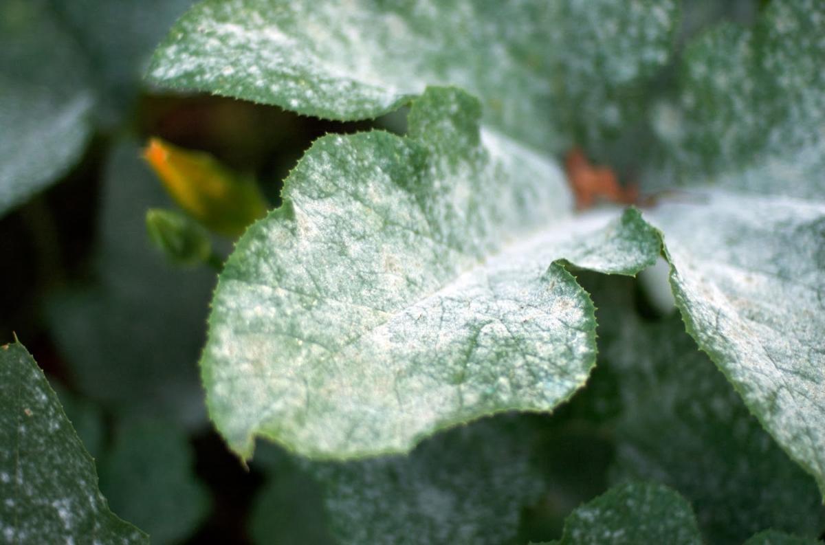 Болезни петунии — почему желтеют листья?