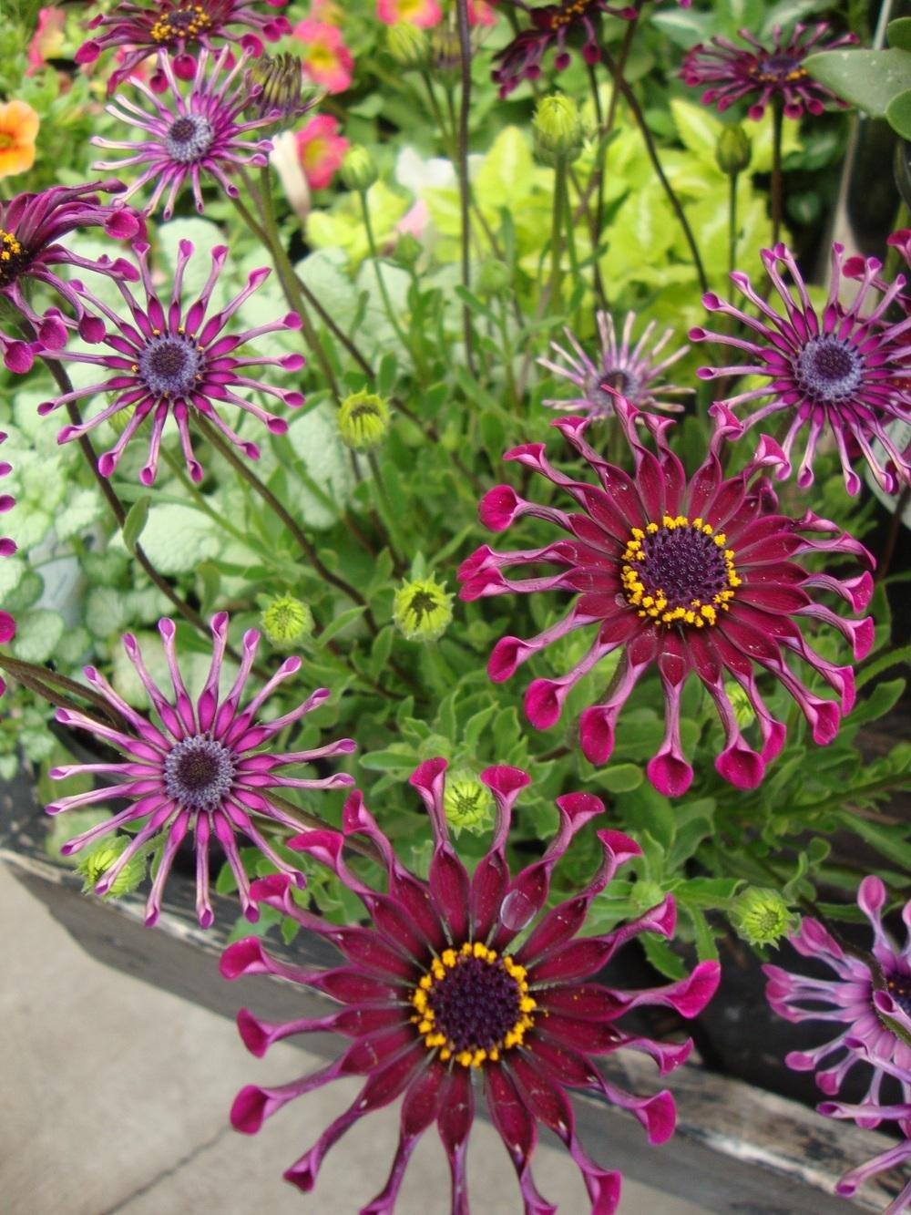 Цветок остеоспермум: уход и выращивание из семян в домашних условиях