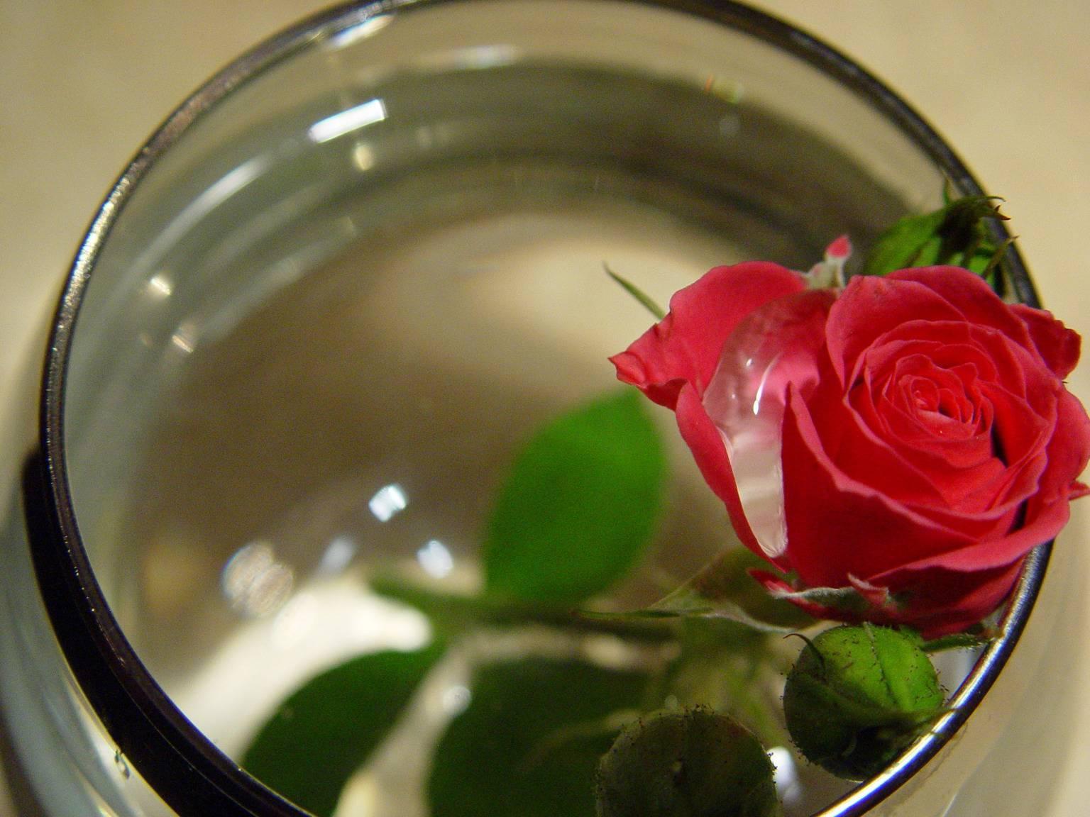 Что делать чтобы розы долго стояли
