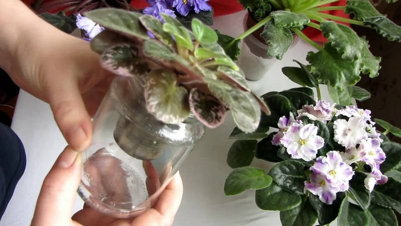 Фитильный полив фиалок – метод, заслуженно полюбившийся многим цветоводам