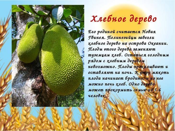 Хлебное дерево. плоды хлебного дерева. описание растения