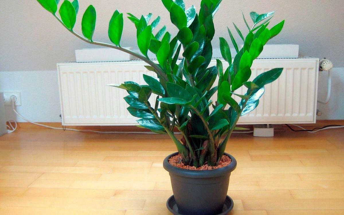 Долларовое дерево: фото, как цветет, описание и уход в домашних условиях