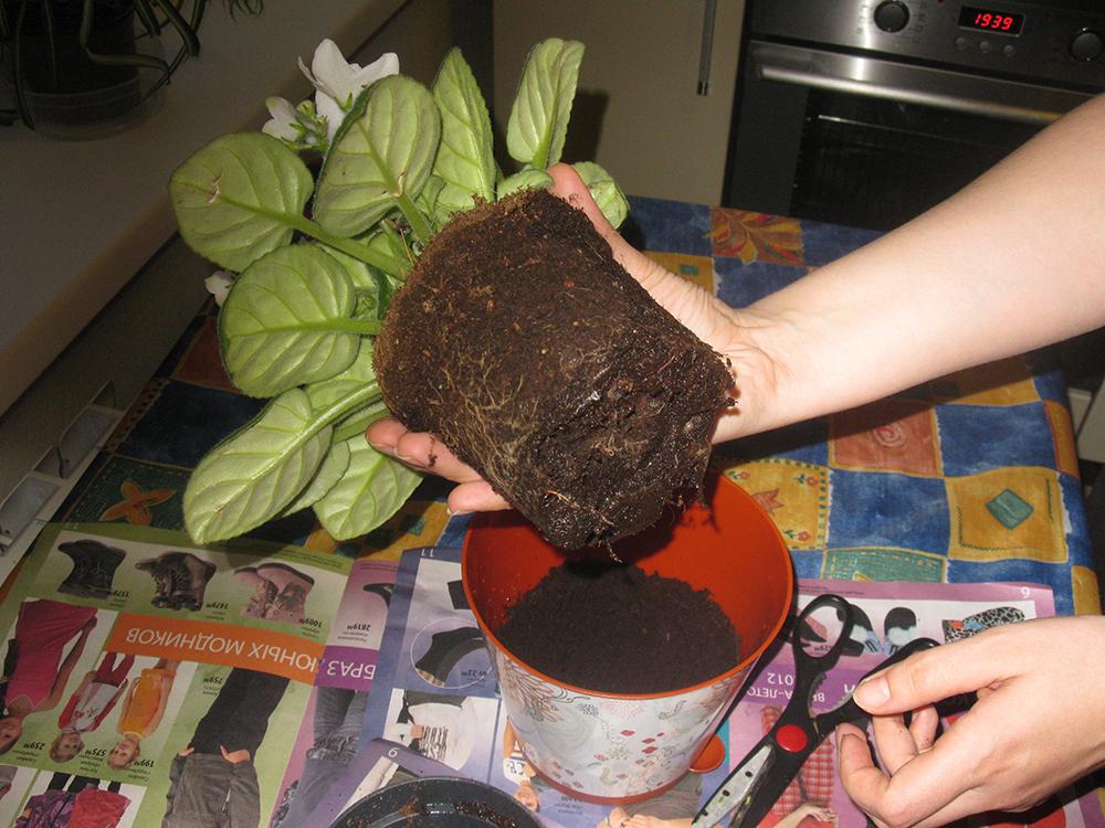 Антуриум: уход за цветком в домашних условиях