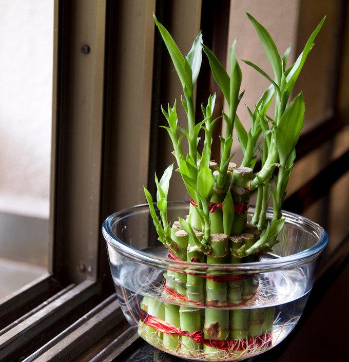 Бамбук комнатный уход в домашних условиях обрезка размножение