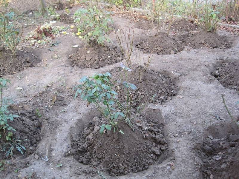 Садовые розы: посадка и уход