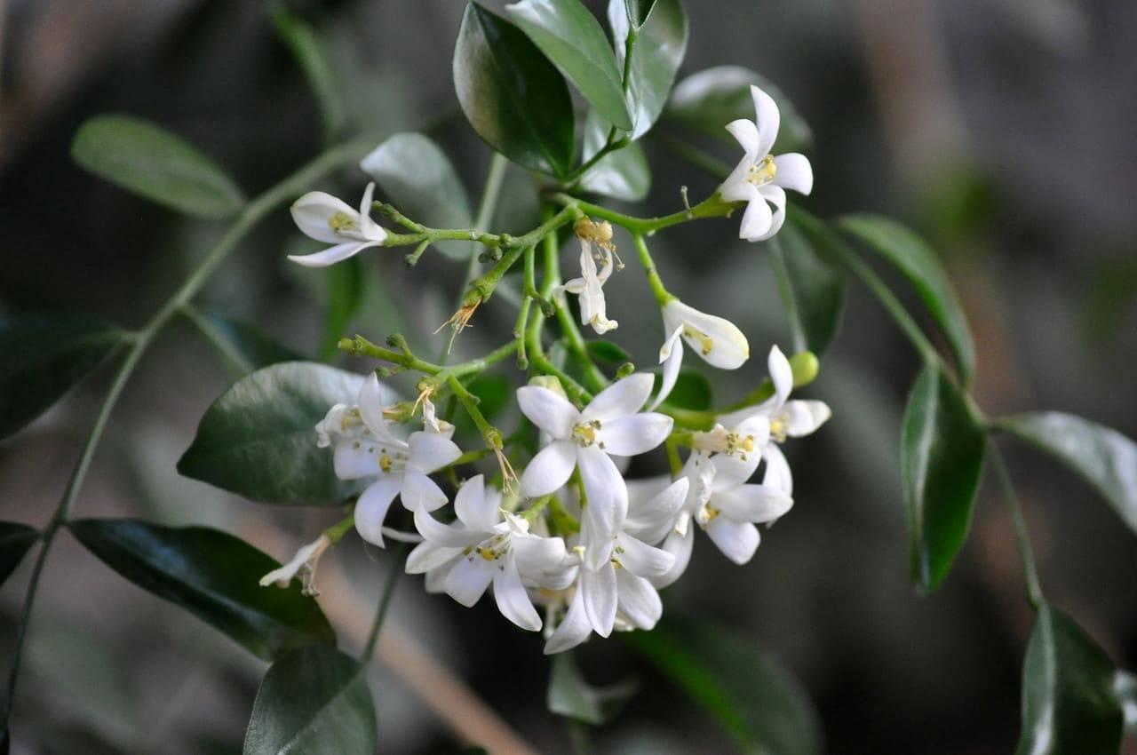 Муррайя murraya - уход в домашних условиях, пересадка, обрезка, размножение, цветение мурайи