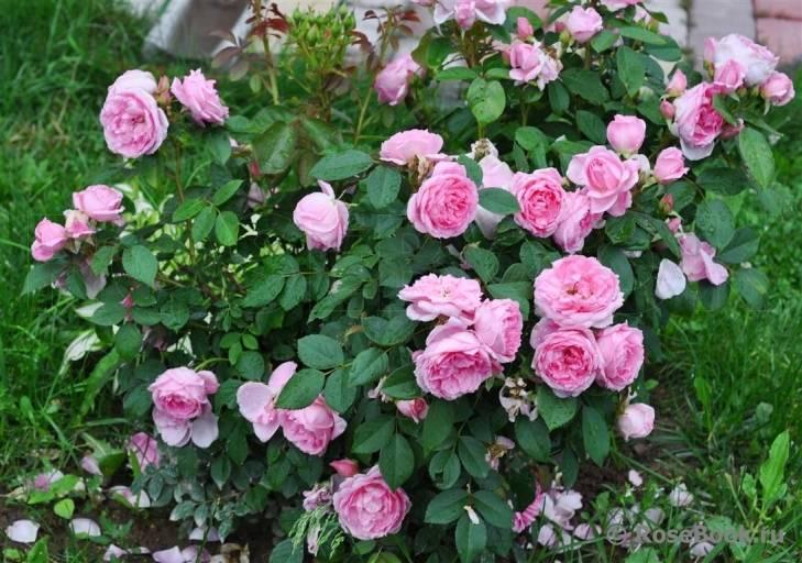 Парковые розы для подмосковья: выбираем лучшие сорта