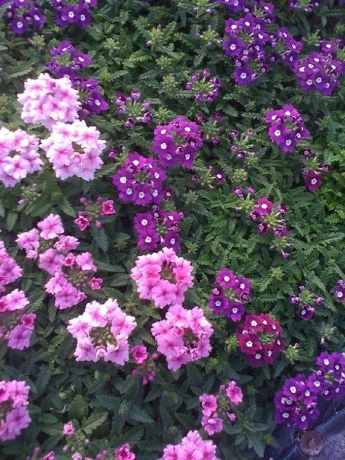 Цветы вербена ампельная — многолетнее растение