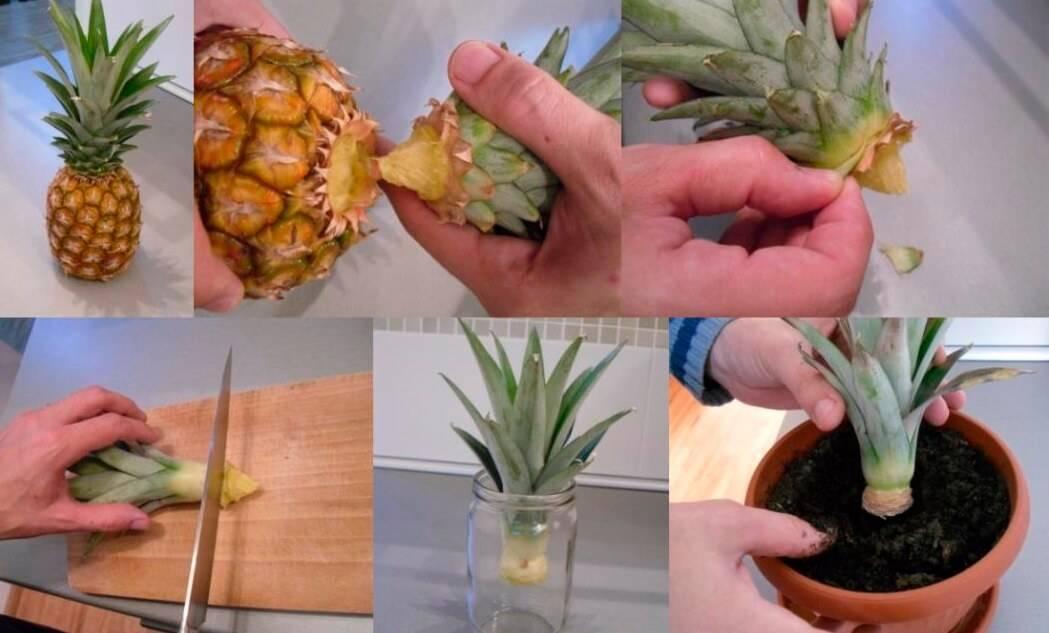Выращивание ананаса дома: как посадить ананас из верхушки в горшок