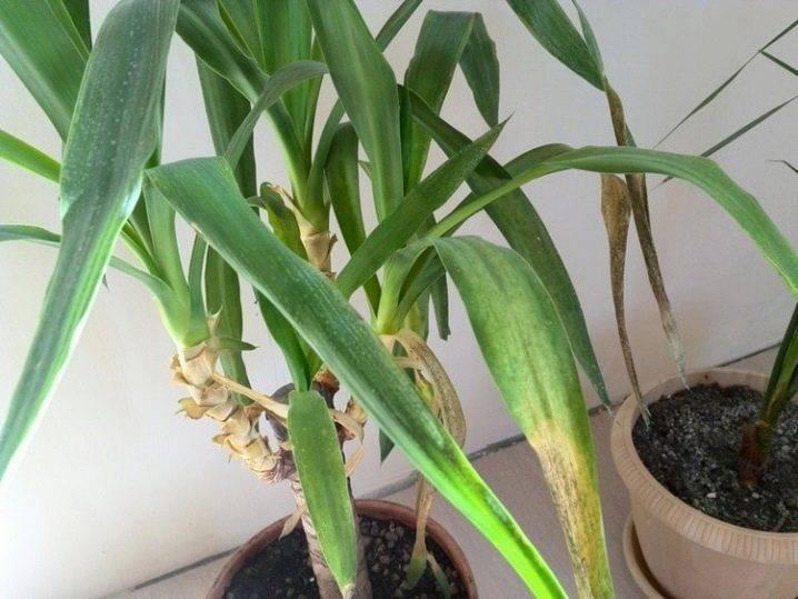 У хамедореи сохнут листья, что делать? одолевают другие болезни и проблемы? рассмотрим лечение для каждого случая