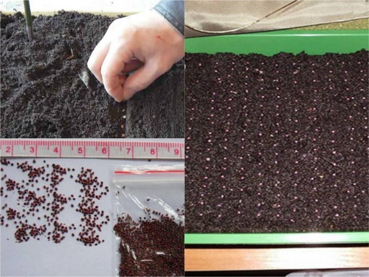 Основные виды катарантуса: примеры ухода, выращивания, посадки и размножения