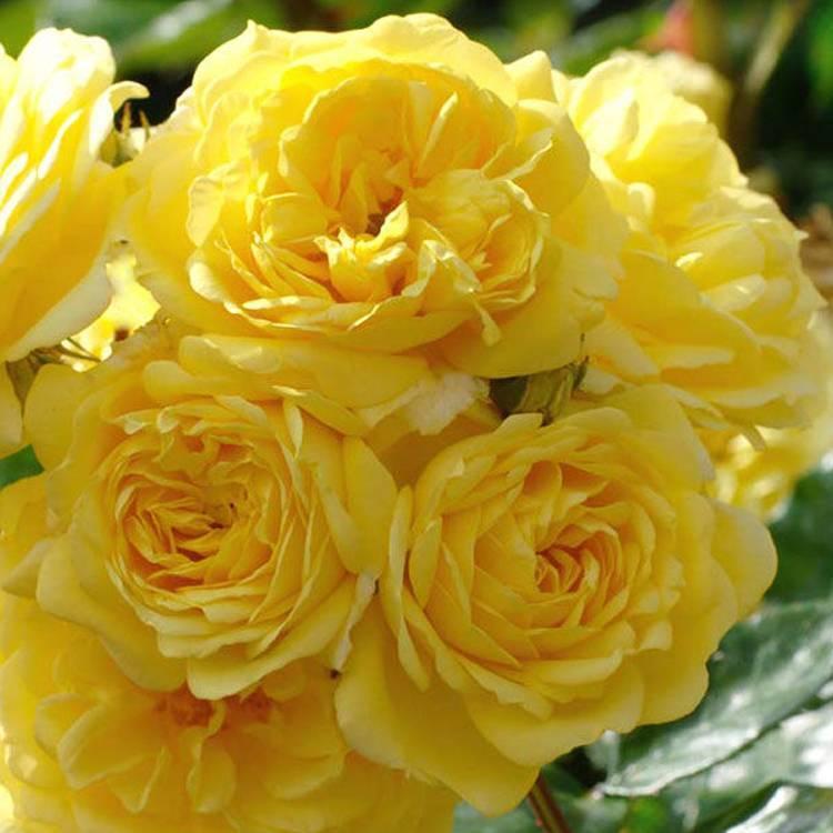Особенности выращивания розы фрезии