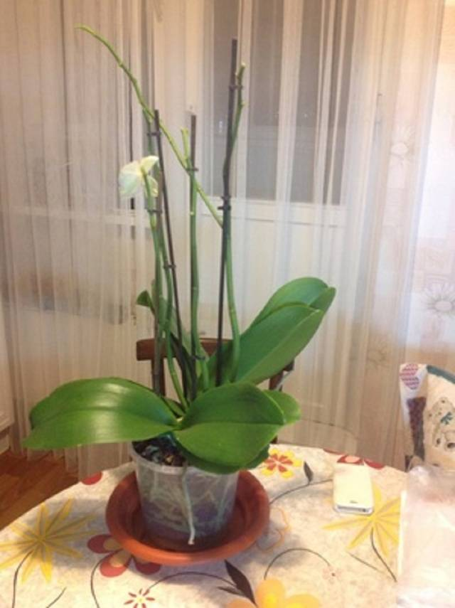 Орхидея фаленопсис отцветает, что делать дальше с южной красавицей? - общая информация - 2020