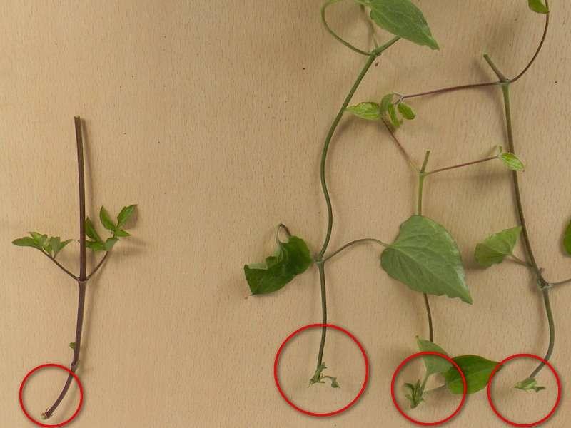 Размножение клематиса черенками в домашних условиях весной и осенью