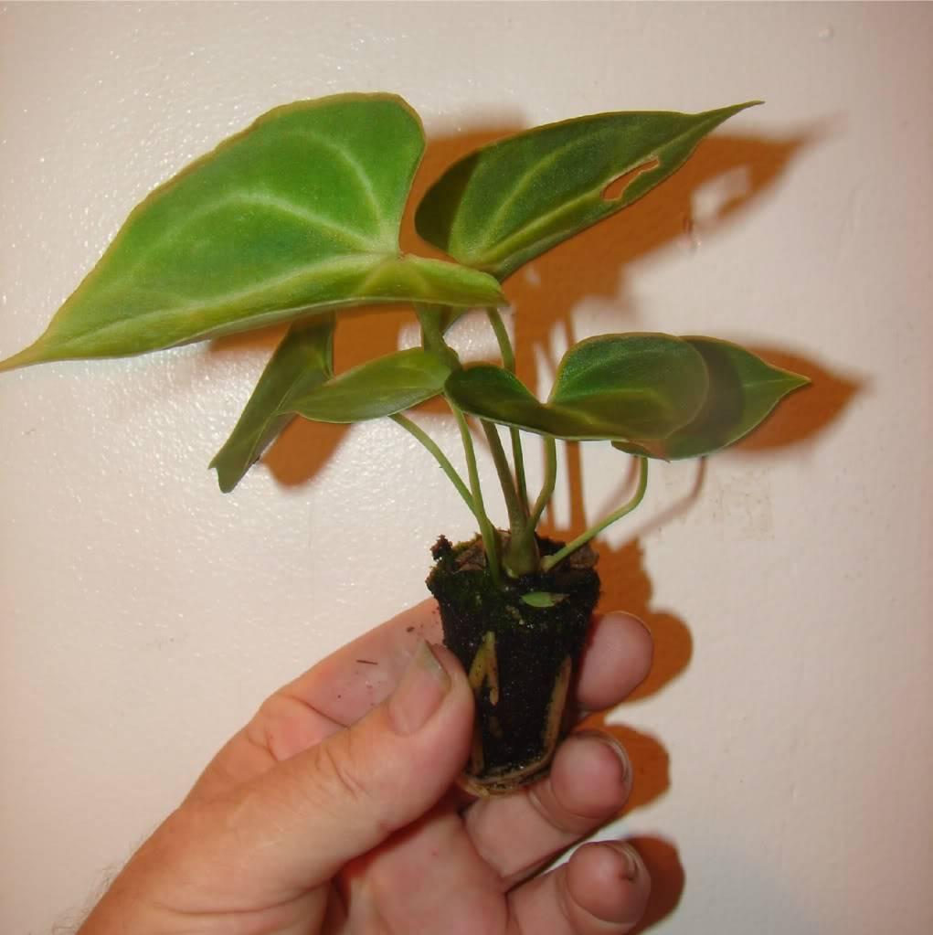 Комнатный цветок кислица - приметы, уход и размножение