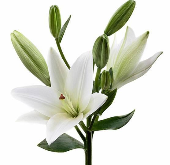 Цветы похожие на лилии с фото и названиями — 15 фото!