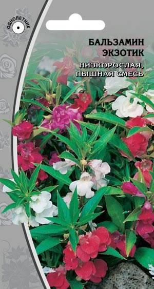 Описание бальзамина карликового том тамб и выращивание из семян дома