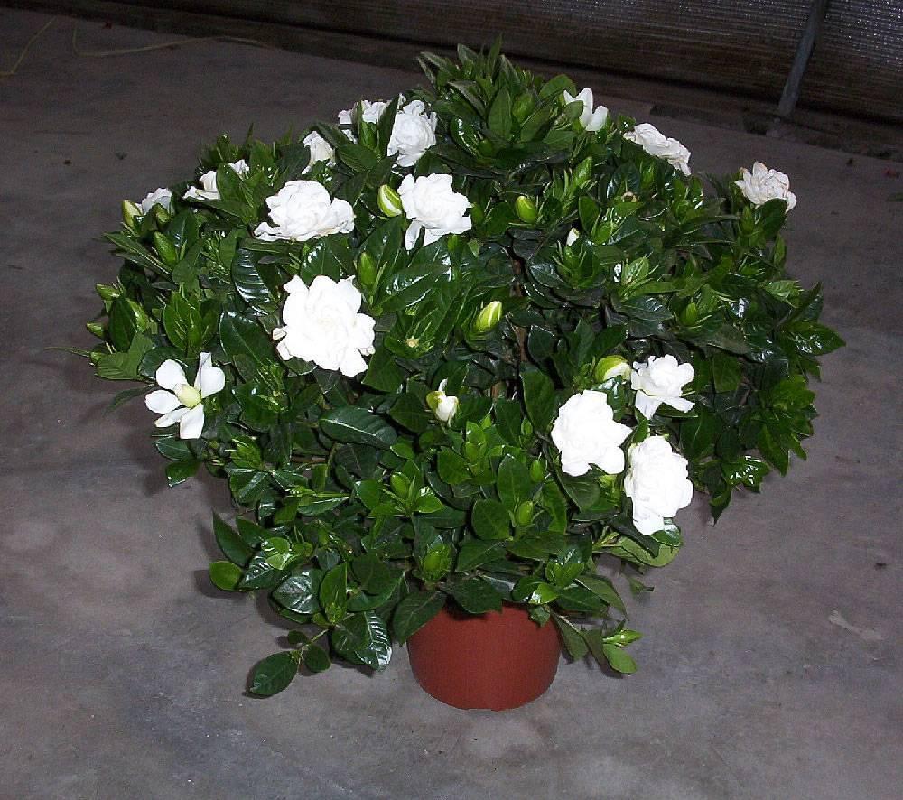 Капризная красавица гардения: уход в домашних условиях за красивоцветущим ароматным декоративным кустарником