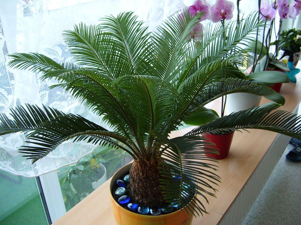 Цикас революта: как правильно ухаживать дома за этим растением?