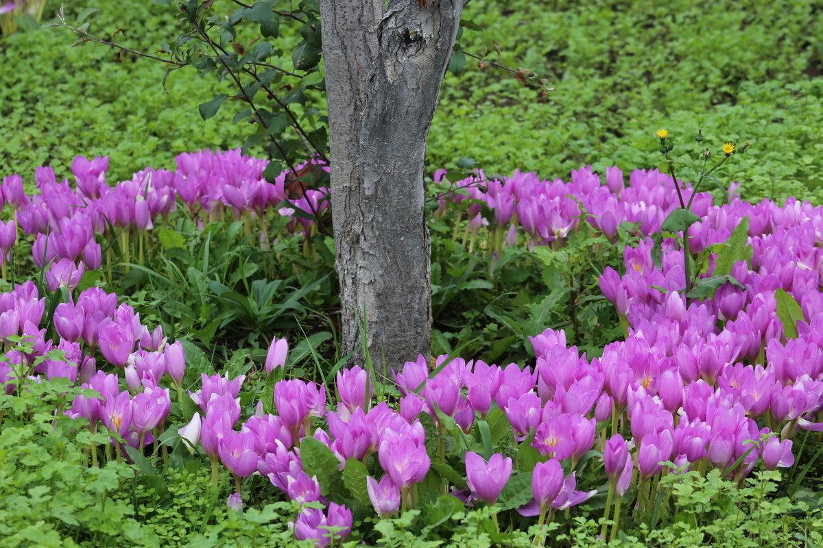 Цветок крокус: как выглядит растение, особенности разведения в домашних условиях