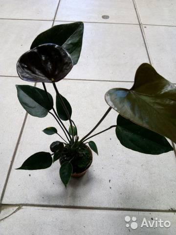 Описание и разновидности черного антуриума. как ухаживать за цветком в домашних условиях?