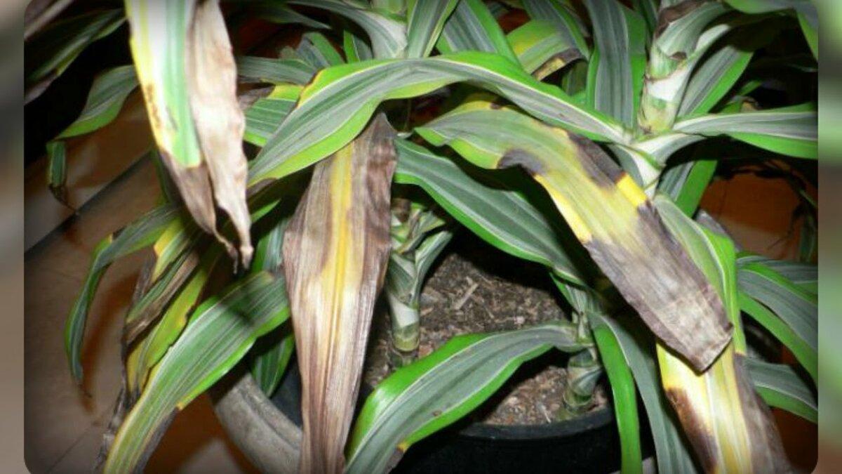 Почему у герани желтеют листья в домашних условиях — причины и лечение