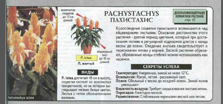 Комнатный цветок пахистахис – уход и размножение