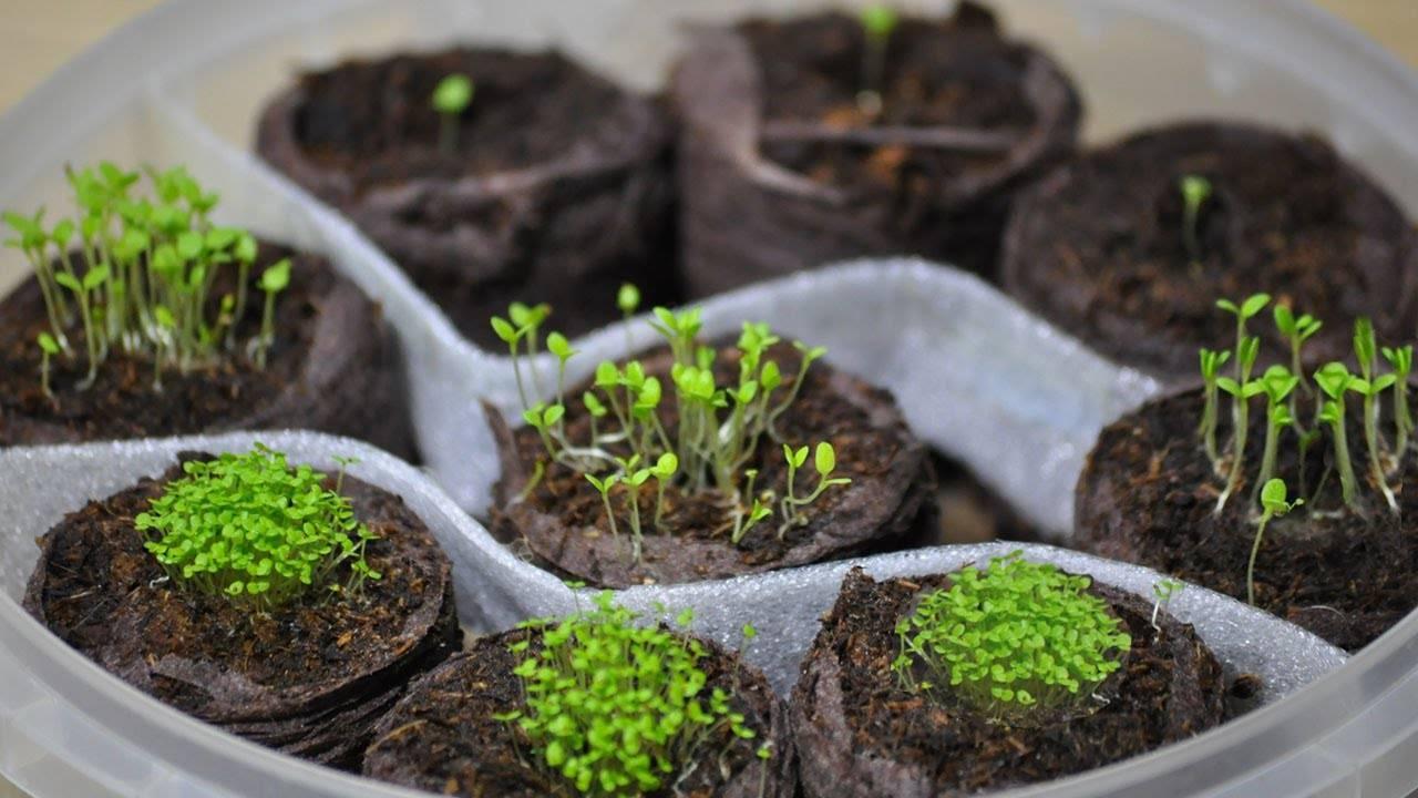 Выращивание лаватеры из семян в открытом грунте