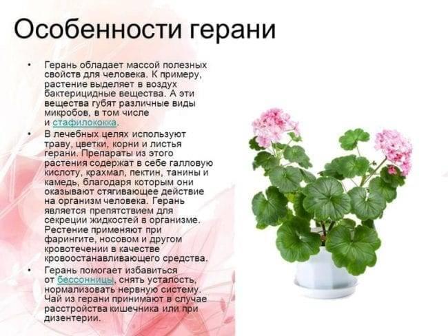 Виды герани (44 фото): популярные многолетние сорта, разновидности красной, желтой и розовой герани