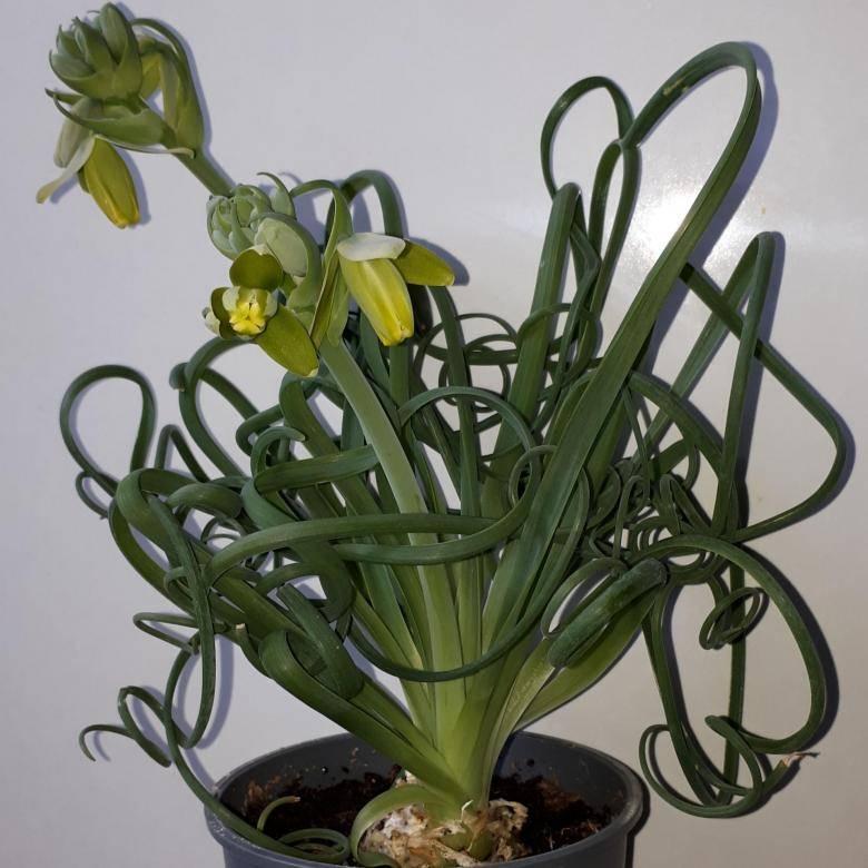 Уход за альбукой спиральной в домашних условиях: цветок albuca spiralis из семян