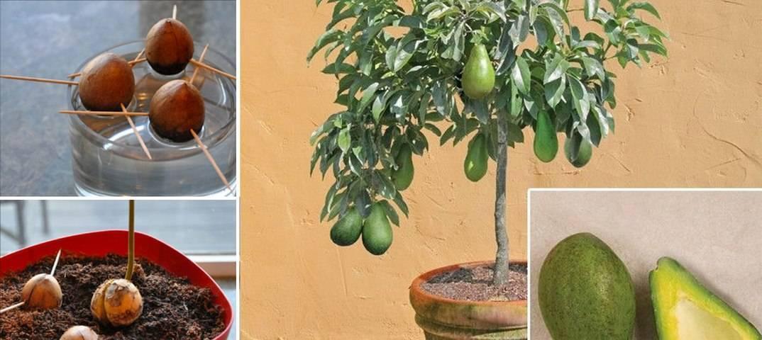 Как вырастить авокадо из косточки в домашних условиях