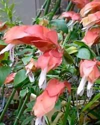Белопероне (36 фото): уход за цветком в домашних условиях. описание вариегатного белопероне гуттата и других видов