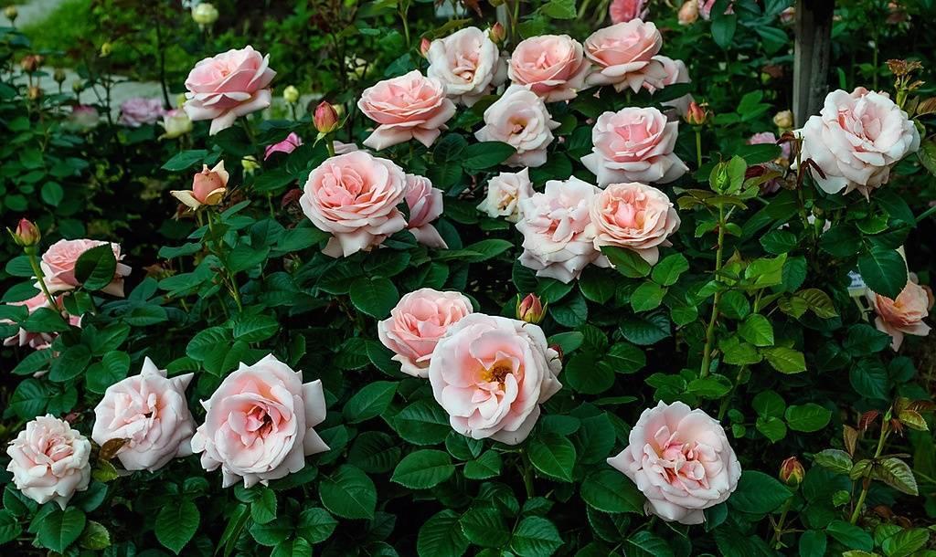 Выращивание роз в горшках - тонкости комнатного цветоводства | о розе