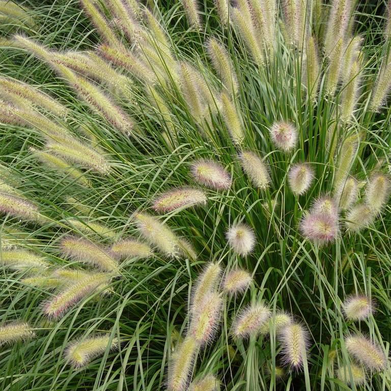Как посадить и вырастить пеннисетум (слоновая трава, перистощетинник пурпурный)