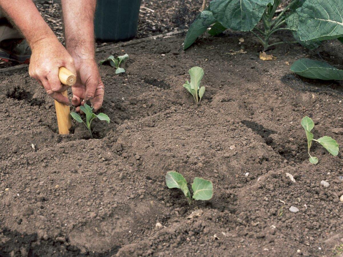 Требования по уходу за агапантусом в открытом грунте и особенности посадки