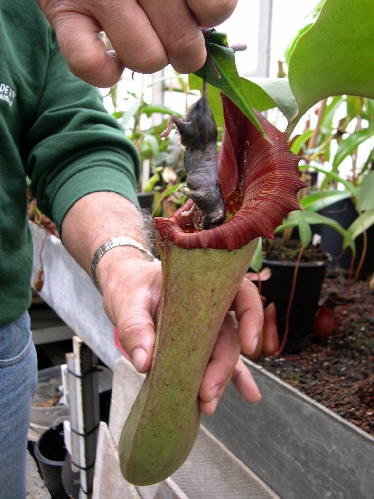 Непентес (кувшиночник) — уход в домашних условиях за хищным растением, пересадка и размножение, фото