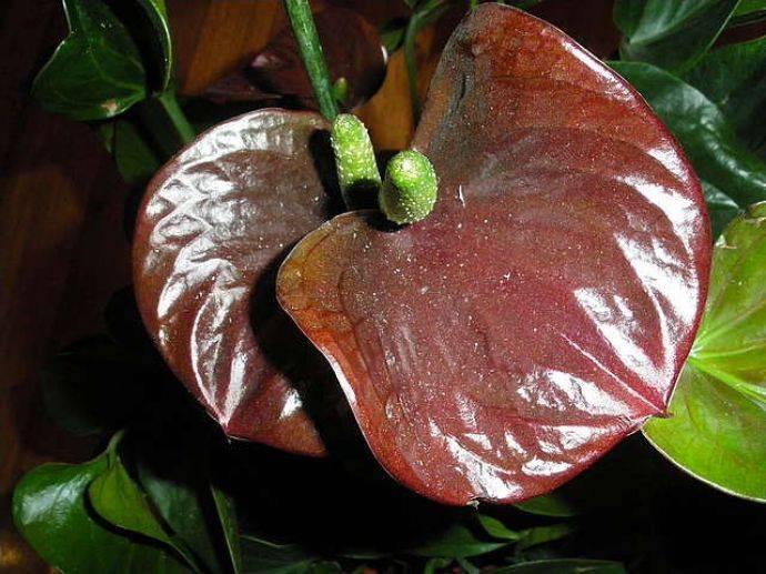 Антуриум «шерцера» (36 фото): уход в домашних условиях, сорта с розовыми цветками, особенности вида «шерцерианум» микс