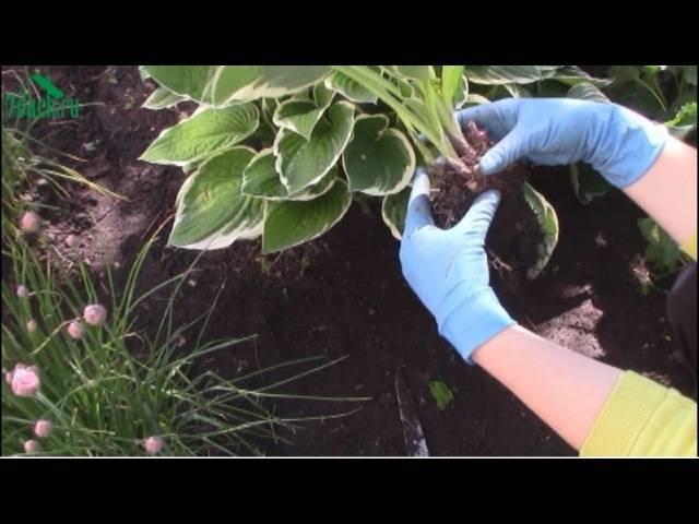 Как рассадить хосту делением куста?