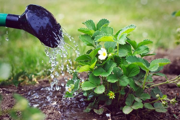 Выращивание адониса из семян в саду, посадка адониса и уход, полив и размножение адониса (горицвета)