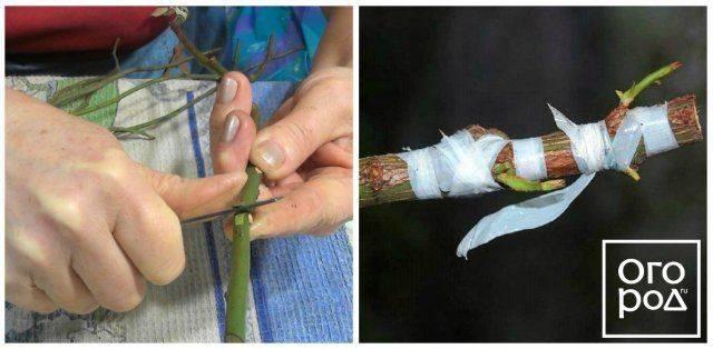 Как правильно привить розу на шиповник: пошаговая инструкция