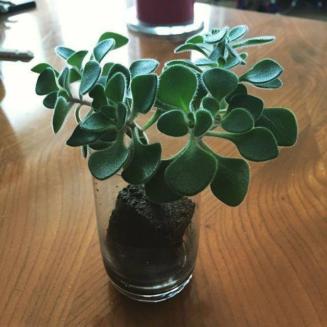 Приметы про дерево любви аихризон в доме