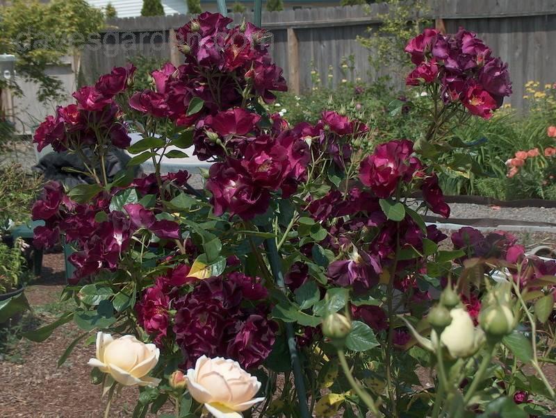 Выращивание плетистой розы сорта найт оул: как ухаживать за «ночной совой»