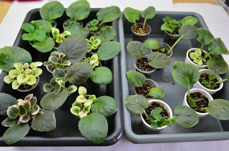 Узамбарская фиалка описание и особенности выращивания: размножение узамбарской фиалки и подходящие условия выращивания дома