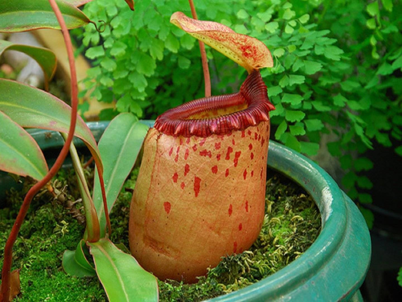 Как ухаживать за росянкой в домашних условиях: виды растения, цветение хищника