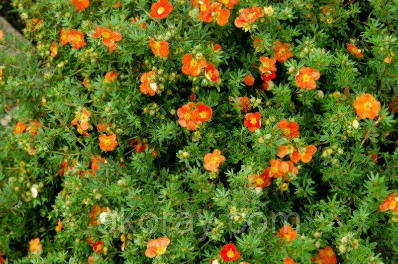 Красная лапчатка (32 фото): «мэрион ред робин», «эйс» и «джокер», кустарниковая и кроваво-красная, травянистая. правила посадки и дальнейший уход